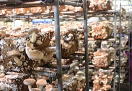 菌床椎茸写真